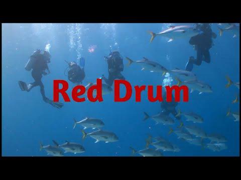 fishing news 2016 #2: Red Drum