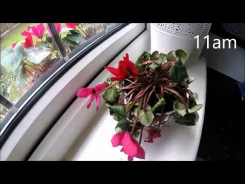 Recovering persian cyclamen timelapse