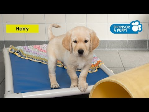 Meet our latest Sponsor a Puppy trainee Harry - Accessible