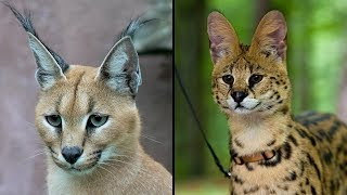 World's Most Dangerous Cat Breeds That People Keep As Pets