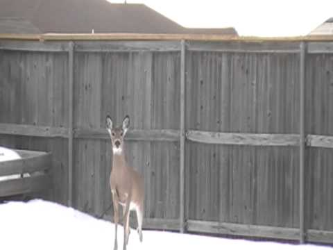 Deer jumps 6 foot  fence... barely