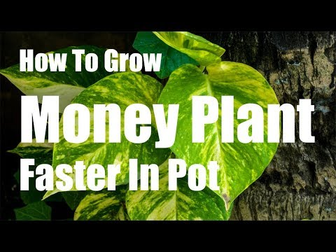 How To Grow Money Plant Faster In Pot