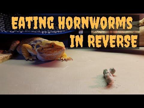 Bearded Dragons Eating Hornworms (IN REVERSE) - 4K.