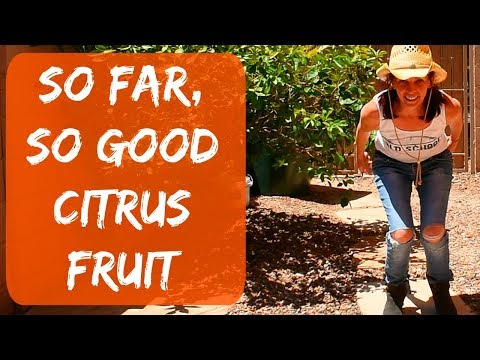 Orange & Grapefruit Tree Update - Citrus Tree Problems. Are The Blossoms and Fruit Dropping