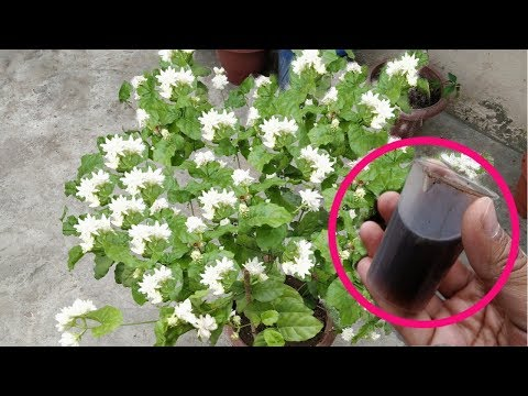Jasmine के पौधे के लिए धमाकेदार फर्टिलाइजर