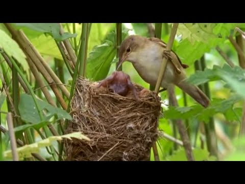 Big Brother eviction cuckoo style | Natural World | BBC