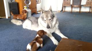 Wolf hybrid playing with little dogs