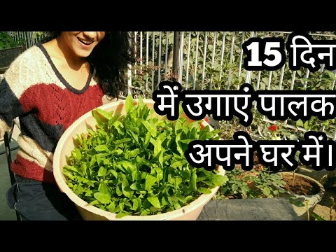 GROW SPINACH IN YOUR HOME IN JUST 15 DAYS