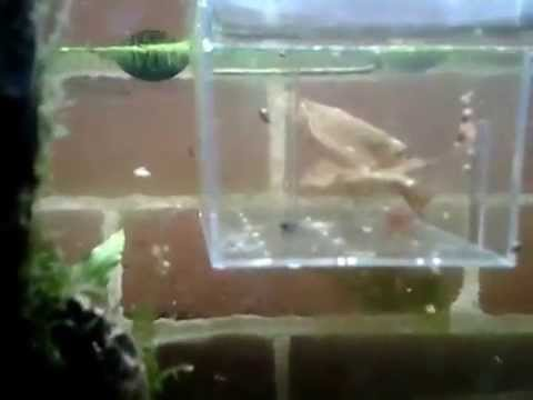 Selective Breeding Crystal Red Shrimp - How To Video