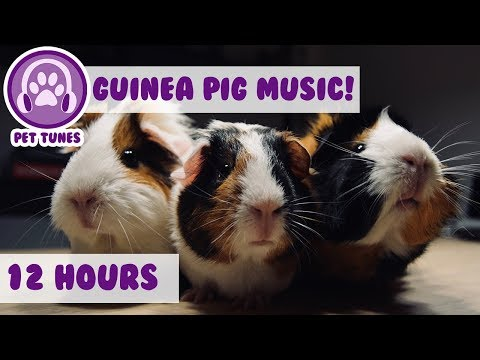 How to Cure Anxiety and Depression in Guinea Pigs! Our Longest Video Yet! Help Calm My Guinea Pig!