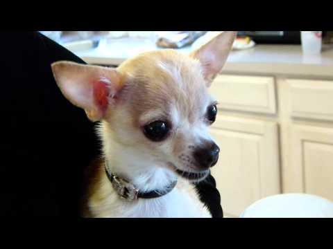Gucci The Chihuahua Drinking Benadryl