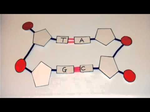 3.3.4 Explain how a DNA double helix is formed