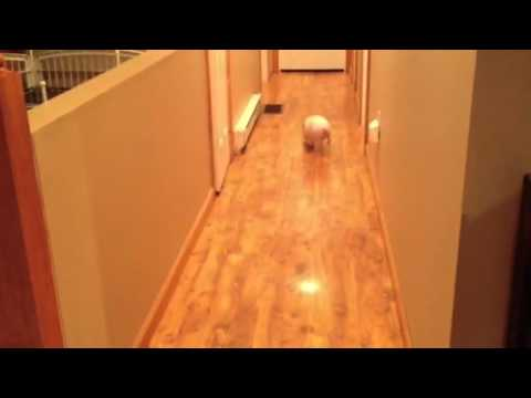 Potbelly Pig running and barking!