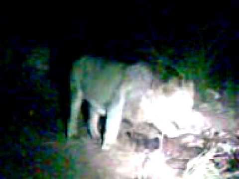 LION FANTASTIC VIDEO .3gp
