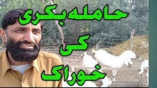 How To Get More Milk From A Goat | bakri ka doodh badhane ka formula
