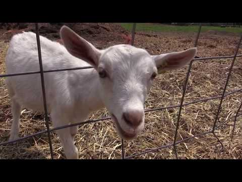 Happy Goats Make Delicious Cheese in Yellowstone