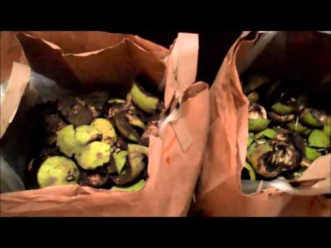 BLACK WALNUTS HOME GARDEN WHAT TO DO