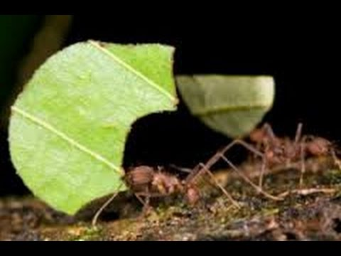Getting Rid of Leafcutter Ants