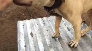 Pure maverick pitbull Videos & Books
