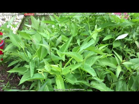 Kangkung (Chinese Water Spinach): Aiman's Guide To Growing Tropical Vegetables In Colder Climate