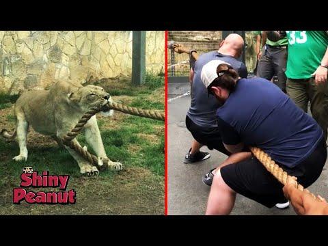 Xxx Mp4 Ketika 3 Pegulat WWE Diadu Dengan 1 Ekor Singa Siapa Yang Menang 3gp Sex