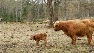 What a Surprise! She Hid Her Calf From Me!