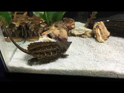Alligator snapping turtle eating