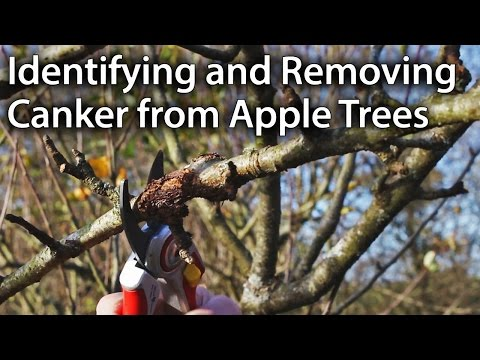 How to Identify and Remove Canker from Apple Trees