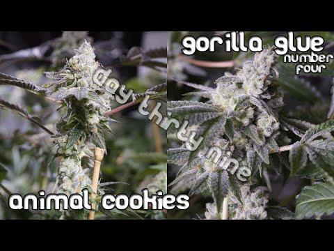 4kw - Animal Cookies and Gorilla Glue #4 garden - Day 39 flower update!