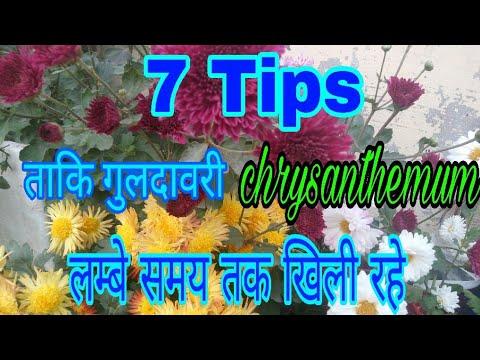 188_7 Tips to make chrysanthemum blooms longer/ ताकि गुलदावरी काफी दिनो के लिए खिली रहे( Hindi Urdu)