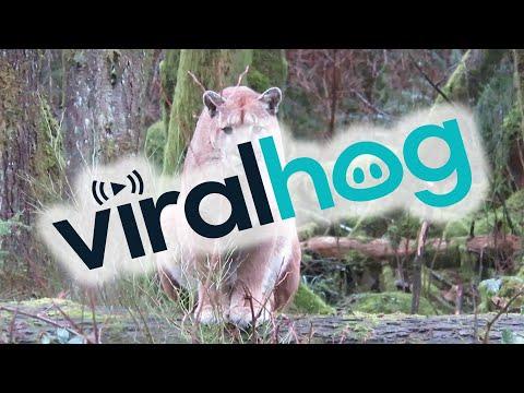 Stalked by a Cougar || ViralHog