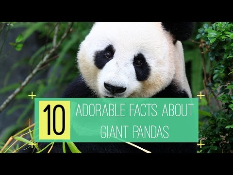 10 Adorable Facts about Giant Pandas