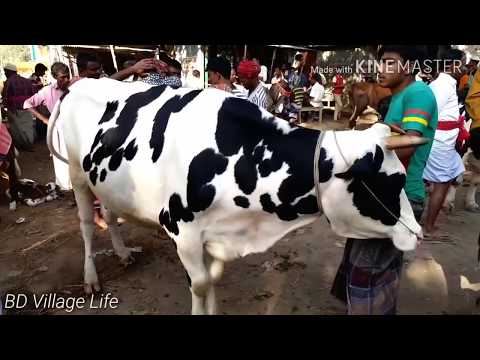 Dairy cows and their calves market by bd village life