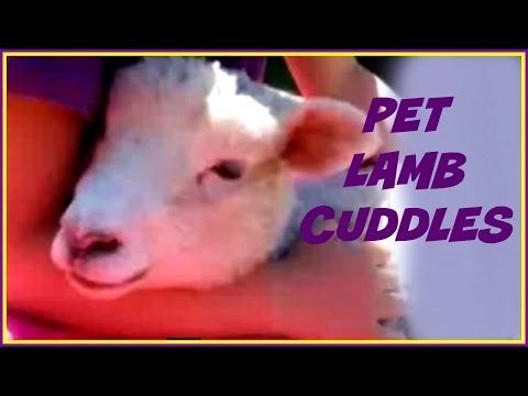 Kids Pets, CUTE Pet Lamb. A Fun Kid Vid About a Pet Lamb
