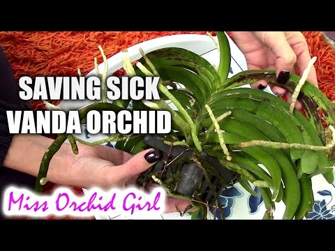 Saving Vanda Orchid with root rot and fungal infection