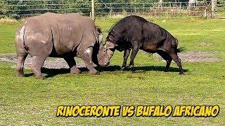 Download Épica Confrontación: Rinoceronte VS Búfalo Africano | Buffalo vs Rhinoceros