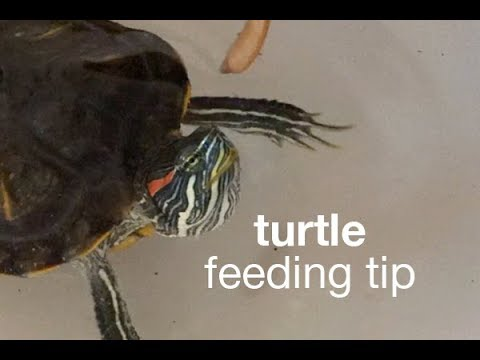 Turtle Feeding Tip