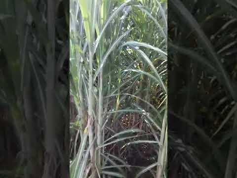 Netsurf Sugarcane Result In Aonla