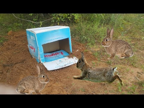 How To Make Rabbit Trap By Using The Trigger Box Nescafe​-Amazing Quick Rabbit Trap in Cambodia
