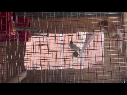 Society Finch Breeding Setup