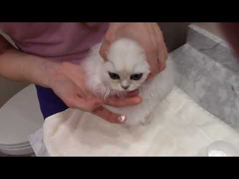 How to Apply Powder to the fur around the eyes - Silver Persian Kitten
