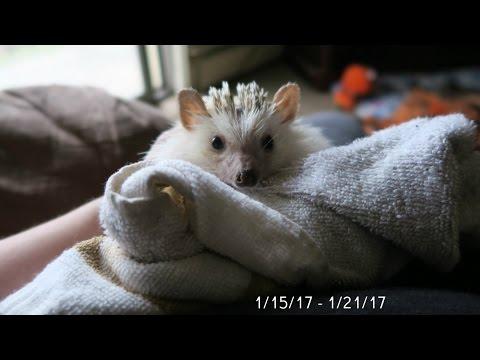 Hedgehog Baths, Clean Cages & Barkbox (VLOG #3)