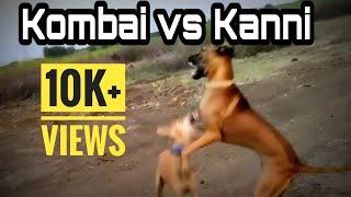 Pure kanni dog |Food habbits | Tamilnadu dog breeds | Indian