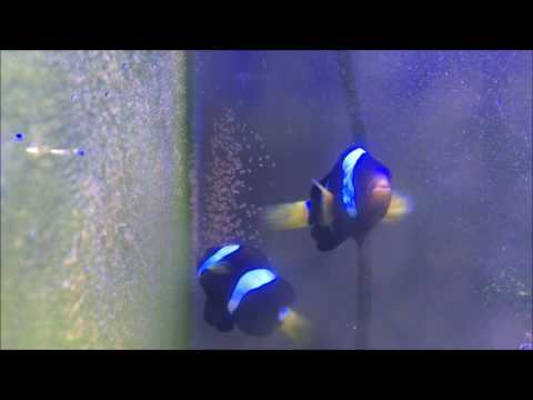 Clownfish Giving Birth !!!!!  Clownfish  Laying Eggs !!!!!