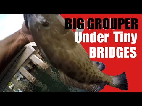 Small Bridge Holds Big Grouper Amazing Encounter With Manatees Too