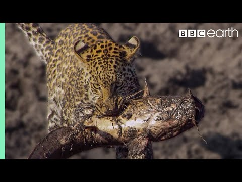 Leopards learn how to Catch Catfish | BBC Earth