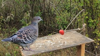 Awesome Super Quick Survival Snare Bird Trap - How to make super easy bird trap work 100%
