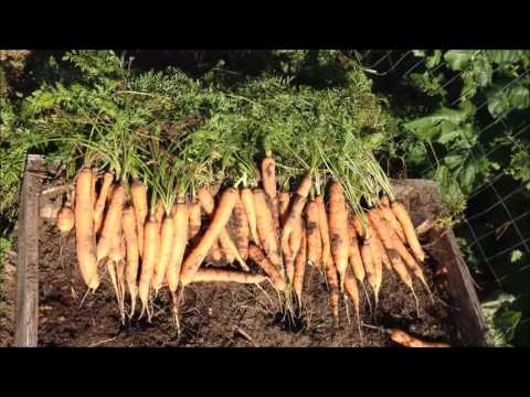 Harvesting and Storing Carrots From Your Garden