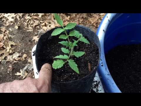 Tomato Plants Started In 1 Gallon Root Pouch Grow Bags With Mind-Blowing Results! You Must See This!