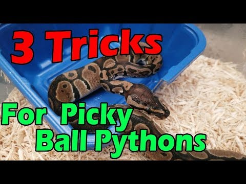 Getting a Picky Ball Python to Eat!